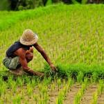 rijstveld indonesie